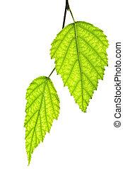liście, zielony, gałąź