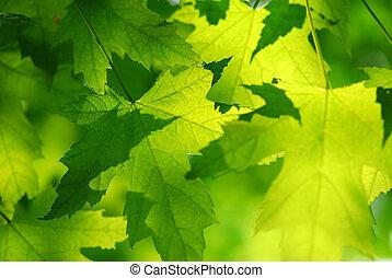 liście, zielony, klon