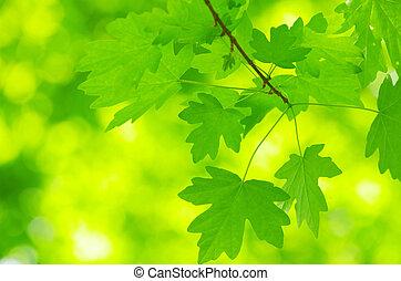 liście, zielony