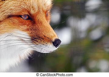 liška, červeň