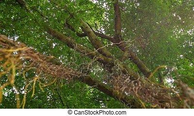 Liana on the big tree - Video 1080p - Liana on the big tree