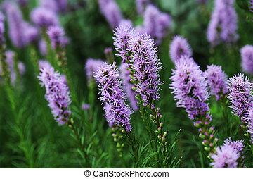Liatris is a genus of ornamental plants in the Asteraceae family
