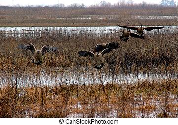 libák, leszállás, kanadai