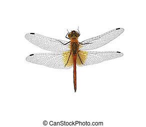 libélula, branca, isolado, fundo