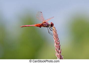 libélula, habitat., família, dragonfly., largo, erythraea, libellulidae, scarlet, scarlet-darter, crocothemis, darter, aka, macho, scarlet, espécie, comum