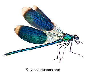 libélula, isolado, branco
