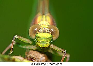 libélula, olhos, macro