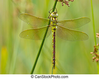libelle, blatt, basierend