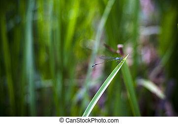 libelle, gras