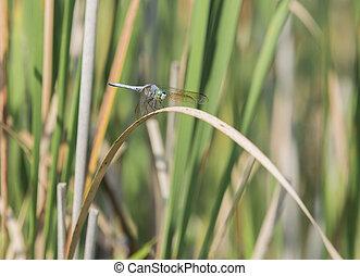 libellula, closeup