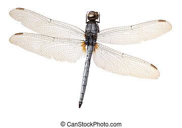 libellula, insetto