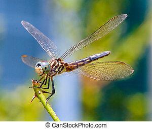 libellula, primo piano