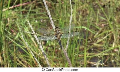 Libellula quadrimaculata, Four-spotted Chaser on branch above water
