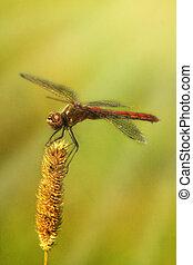 libellula, seduta, su, il, asciutto, lama