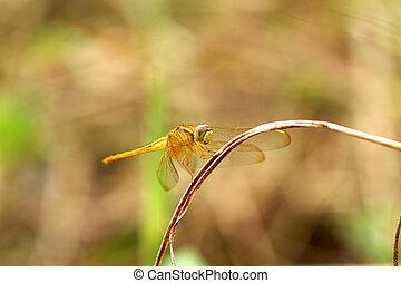 libellula, su, asciutto, erba