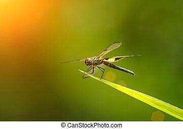 libellula, su, uno, lama, di, grass.
