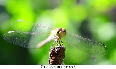 libellule, mouches, loin