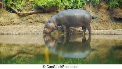 liberiensis., -, hippopotame, libérien, hippo., pygmée, eau, hexaprotodon