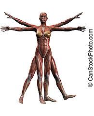 lichaam, anatomie, vrouwlijk, menselijk