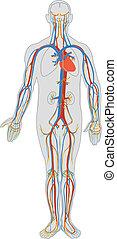 lichaam, bloed, menselijk, circulatie