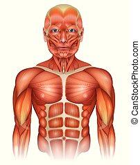 lichaam, bovenleer, spierballen, menselijk