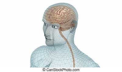 lichaam, brein model, draad, menselijk