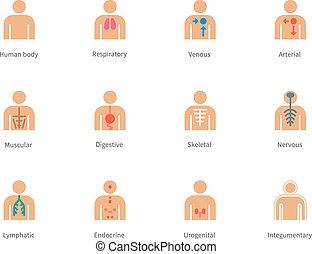 lichaam, iconen, kleur, anatomie, achtergrond., menselijk,...