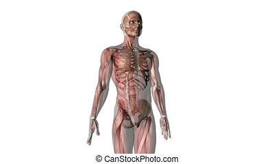 lichaam, menselijk