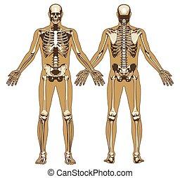 lichaam, plat, achtergrond, skelet, menselijk