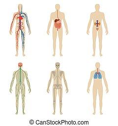 lichaam, set, vitaliteit, systemen, menselijk, organen
