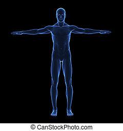 lichaam, x, menselijk, straal