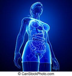 lichaam, xray, spijsverteringssysteem, vrouwlijk