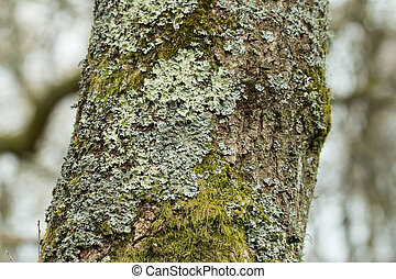 Lichen and moss growing on tree in English woodland.
