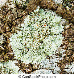 Lichen - Close up light green color lichen on tree bark in ...
