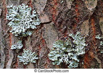 Lichen, Hypogymnia physodes growing on a tree trunk
