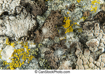 Lichen on a rock in close up