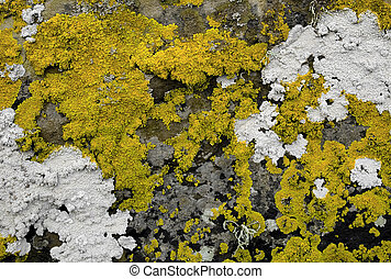 Lichen on a seaside rock