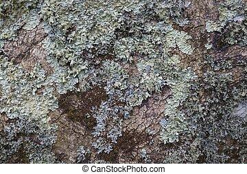 Lichen on Alder Tree