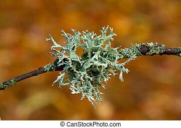 Lichen on Branch - Macro shot of lichen on branch,...
