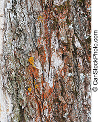 lichen on the bark of a poplar. background