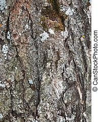 lichen on the bark of a poplar. background