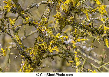lichen overgrown twigs - natural abstract background with...