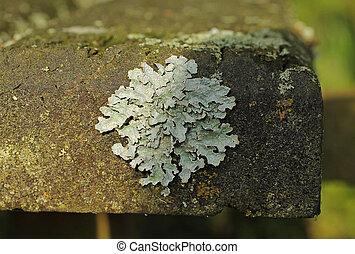 lichen - close photo of a foliose lichen Parmotrema growing...