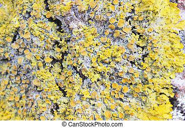 Lichen on a tree bark closeup. Macro.