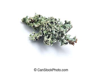 lichen isolated on white background