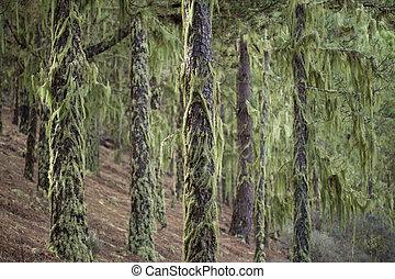 lichen Usnea background - lichen Usnea covering tree trunks...