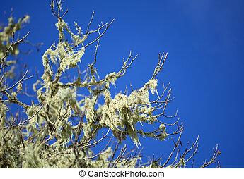 lichen Usnea background natural macro background,...
