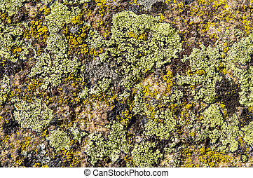 Lichens are symbiotic fungi and algae. They are able to grow...