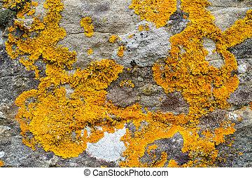 Lichens on limestone - Orange lichens on grey limestone