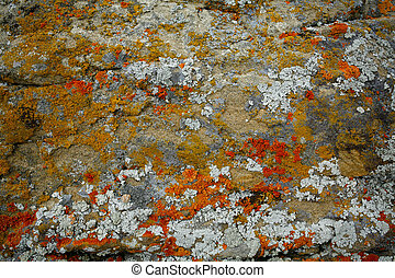 Lichens on the a rock - Colorful lichens growing on the...